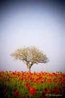 L'arbre aux coquelicots